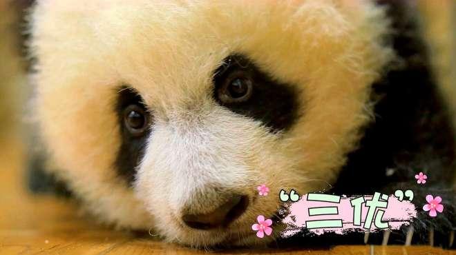 """被川航认领的小公主熊猫""""三优"""",镜头拍下成长历程!"""