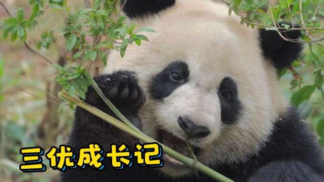 """大熊猫三优的成长日记:我是真的爱""""盆盆奶""""~"""